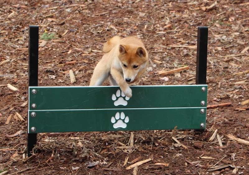 Shiba Inu hopping a pointer plank