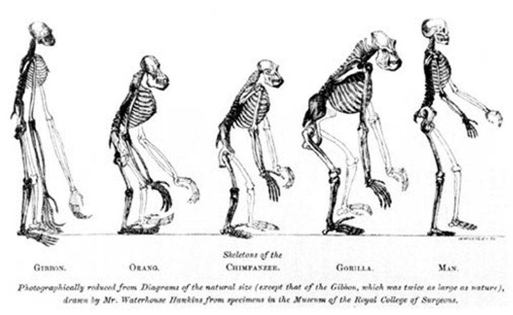 Skeletal pictures of Gibbon, Orangutan, Chimpanzee, Gorilla & Man